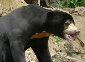 Diserang Beruang, Pasangan Suami Istri Terluka Parah