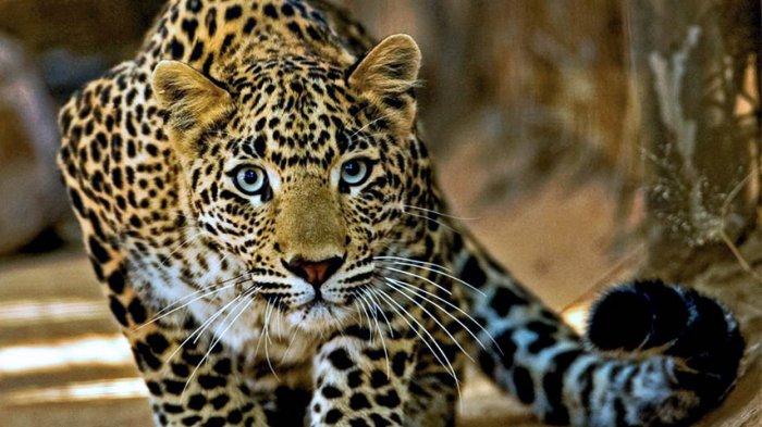 Macan Tutul Pemangsa Puluhan Ekor Ternak Warga Masuk Perangkap BKSDA